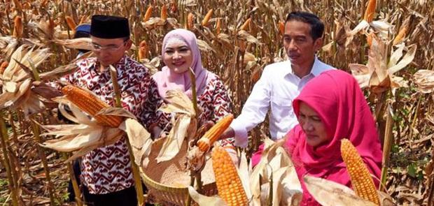 Jokowi Gagal Penuhi Target Swasembada Pajale
