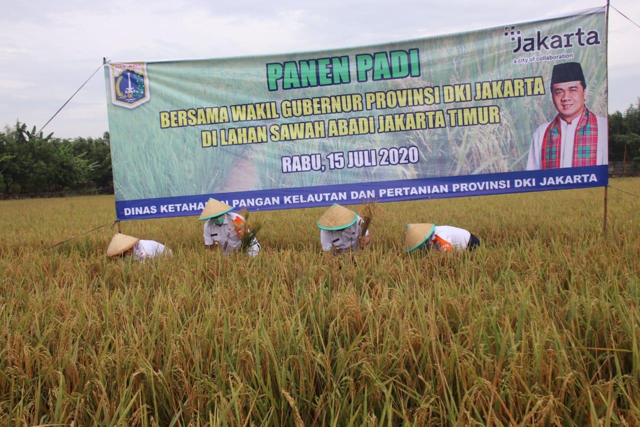 Masih Ada Sawah 414 Hektar di Jakarta, Wagub Gelar Panen Raya