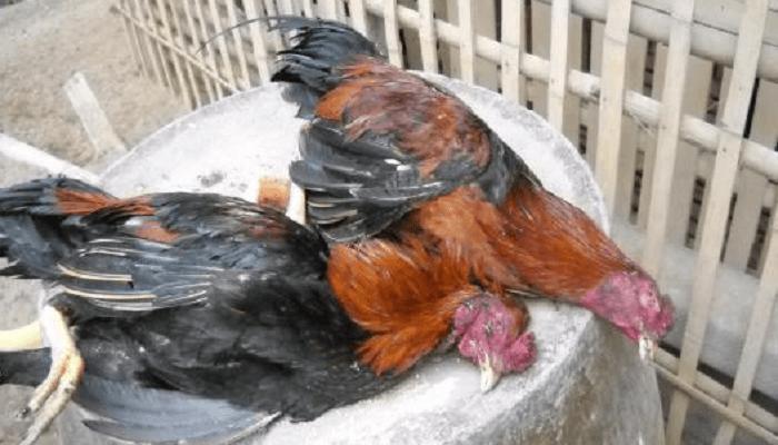 Indonesia Punya Laboratorium Berstandar Internasional Hadapi Ancaman Pandemi Flu Burung