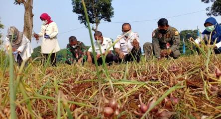 Jakarta Bisa Panen 17,5 Ton Bawang Merah dari Lahan Pertanian di Halim Perdanakusuma